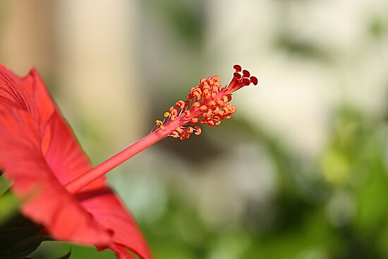 Red Hibiscus 5 by TeAnne