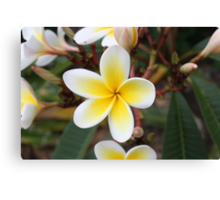 Pretty White and Yelow Frangipanis Canvas Print