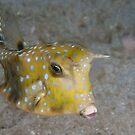 Longhorn Cowfish, North Sulawesi, Indonesia by Erik Schlogl