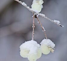 Frosty snowberries by Paola Svensson