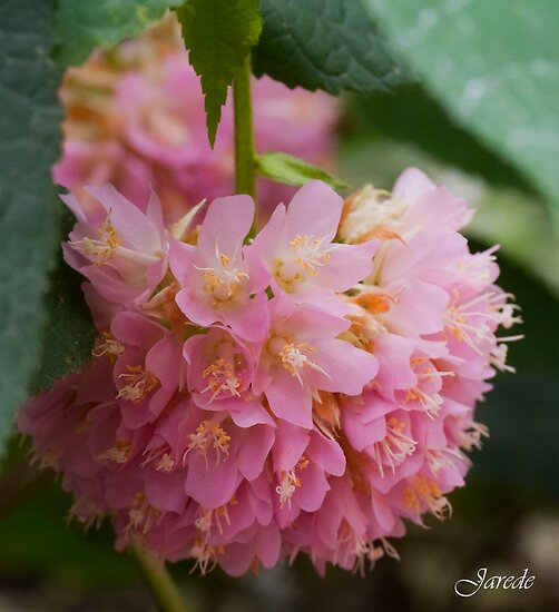 Pink Puff Of Flower by Jarede Schmetterer