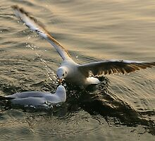 gulls1 by gallofoto