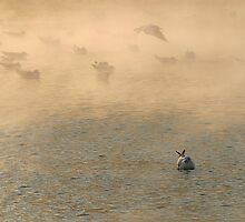 gulls3 by gallofoto
