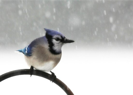 Blue Jay in a Blizzard by Lori Deiter