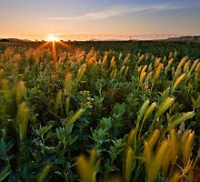 Pivot Grass Sunset by Rob  Southey
