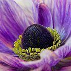 lilac anemone by AngiNelson