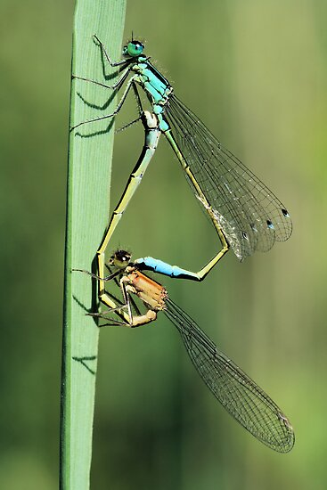 Damselflies mating. by jimmy hoffman