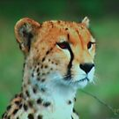 A Cheetah with Watchful Eyes by Pam Moore