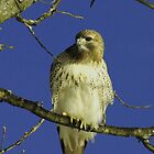Red-tailed Hawk by OntheroadImage