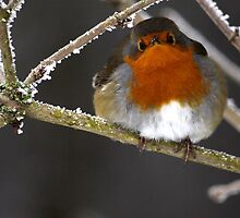 Fluffy Robin by Sara Fortune