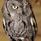 Tiny Screech Owl by Winona Sharp