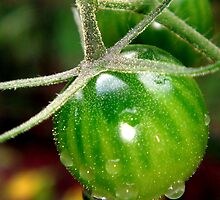 Cherry tomatoes in the rain by Meredith Wickham
