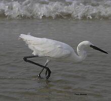 white morph Reddish Egret by Dennis Cheeseman