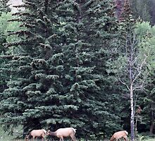 Elk Grazing Beneath the Pines by Alyce Taylor