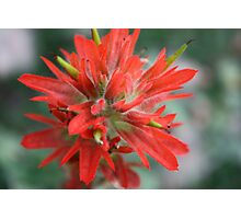 Common Red Paintbrush Photographic Print
