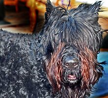 Zeus the Bear Dog by Peggy Berger