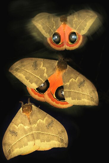 Automeris moth by jimmy hoffman