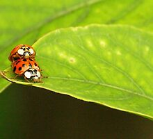 Ladybugs mating by kellimays