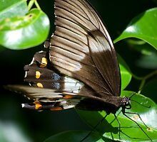 Butterfly - Australia by Anthony Wilson