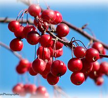 Cherries by vigor