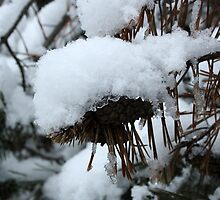 Snow on the Pines by Alyce Taylor