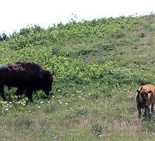 Buffalo and Calf by Alyce Taylor