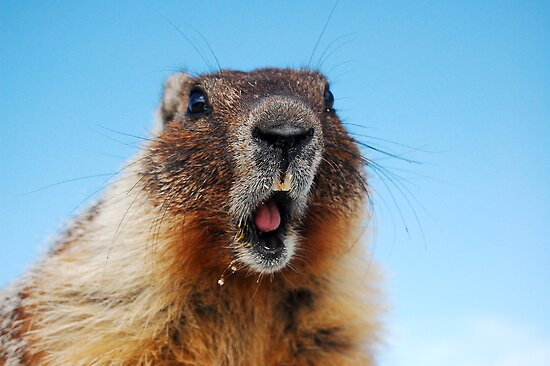 Marty the Marmot by dwservingHim