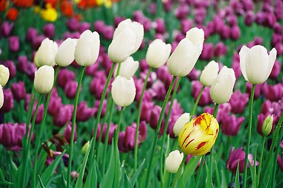 Tulips at Floriade 1 by Petehamilton