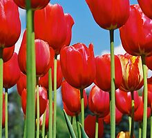 Floriade Tulips 2 by Petehamilton