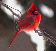 Cardinal by Kate Adams