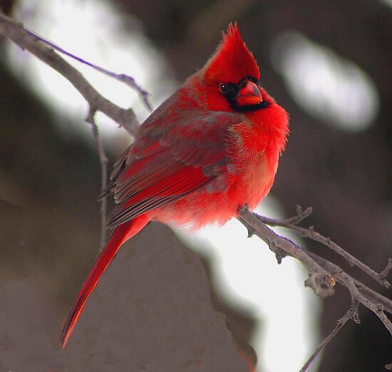 Cardinal by Kate Adams