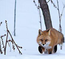 STOCK-Snowy Fox by Jay Ryser