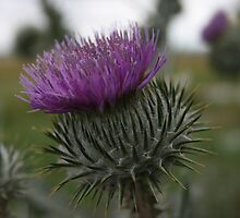 Crown Thistle by Dave Godden