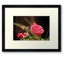 Summer Rose Framed Print