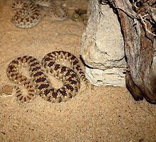 Desert Horned Viper by Charles Buchanan