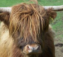 Hairy Heilan' Coo by JJsEscape