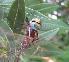Dragonfly Sitting On  Oleander Bush Leaves. by Mywildscapepics