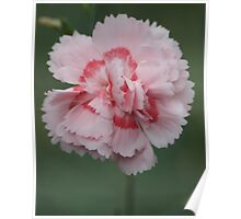 Two-tone carnation Poster