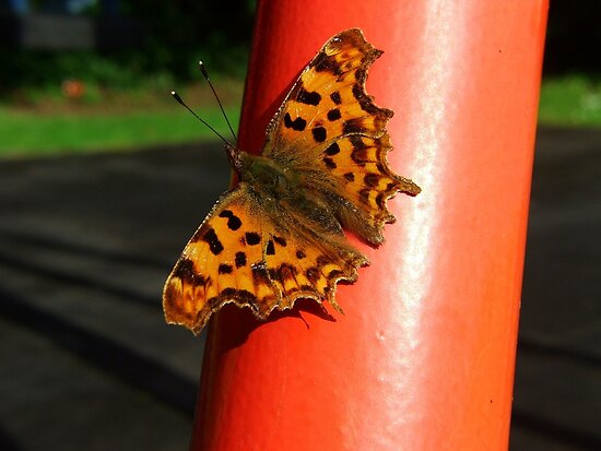 Comma Butterfly by Dave Godden