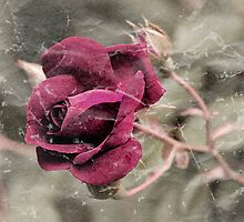 Rose by JHRphotoART