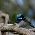 Superb Fairy Wren (Male) by Coreena Vieth