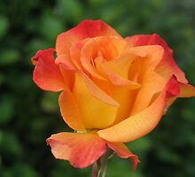 An Orange Rose by art2plunder