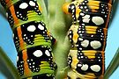 Hyles euporbiae caterpillars by jimmy hoffman
