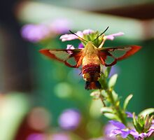 clearwing hummingbird moth by dragonphly