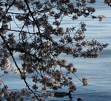 dc cherry blossoms 3 by nicolle walker