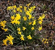 Daffodils In The Woods by Linda Yates