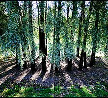 Trees shadow geometry by Jean  Malnory
