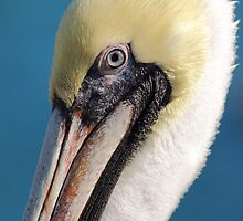 Portrait of a Pelican by Phillip  Simmons