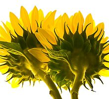 High Key Sunflowers by JHRphotoART