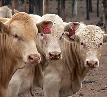 Charolais Bulls by suzyque